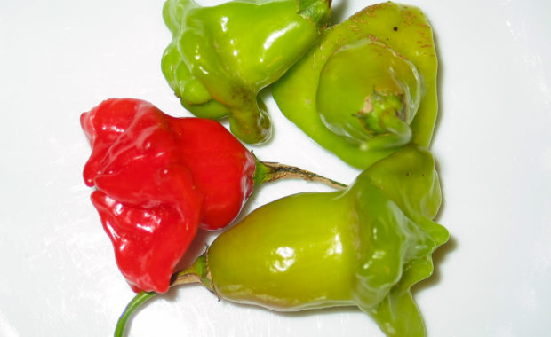 Glockenchili – Capsicum baccatum L. – Chilisorte