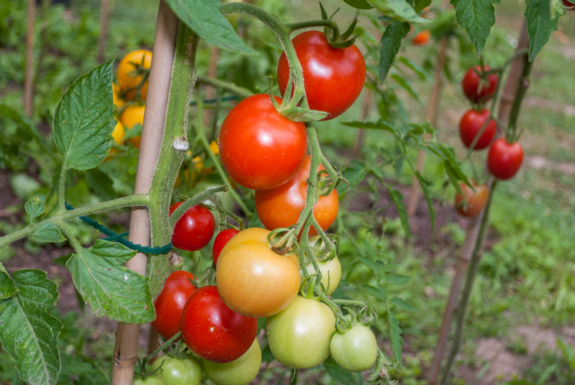 Die Tomatensorte Hlozanek ist eine robuste. ertragreiche Tomate