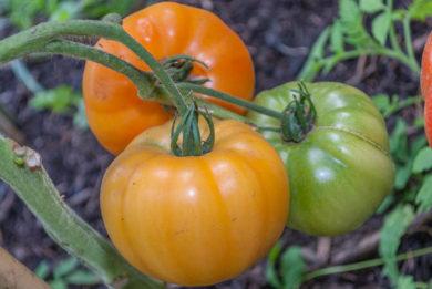 Hughs - Solanum lycopersicum - Tomatensorte