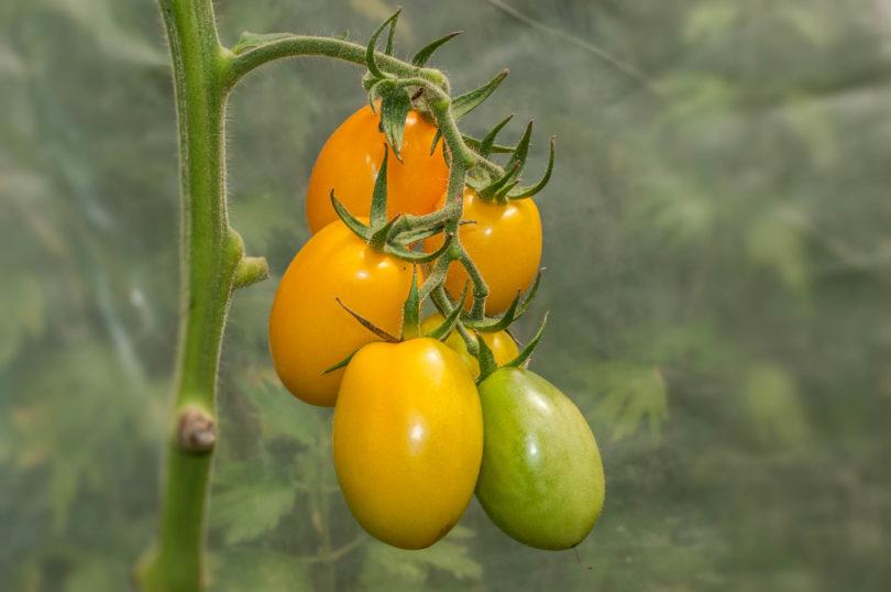 Die Tomate Japanisches Ei schmeckt aromatisch, saftig gut.