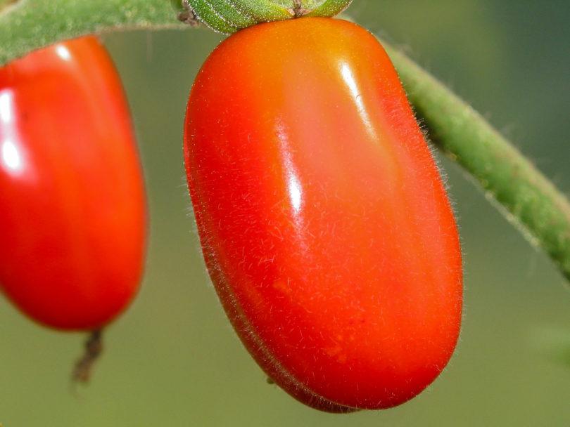 Die Früchte der Tomate Jujube Cherry sind länglich, mittelgroß und reifen rot ab.