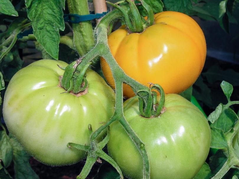 Die Früchte der Tomate Kasachstan Orange sind groß und reifen gelborange ab.