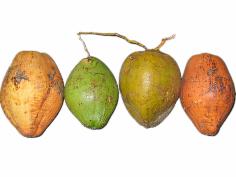 Kokosnuss - Cocos nucifera