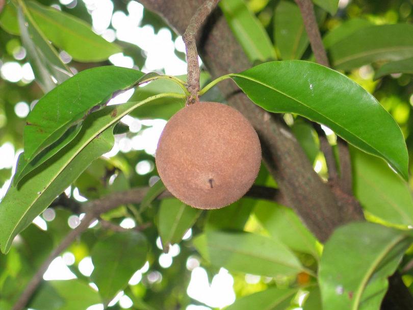 Kaugummibaum - Manilkara zapota