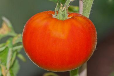 Mariannas Peace - Solanum lycopersicum - Tomatensorte