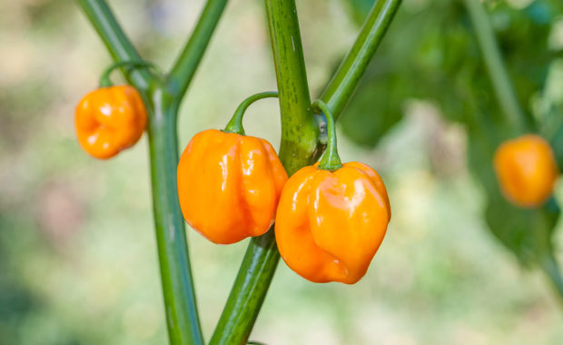 Morovars Yellow – Capsicum chinense – Chilisorte
