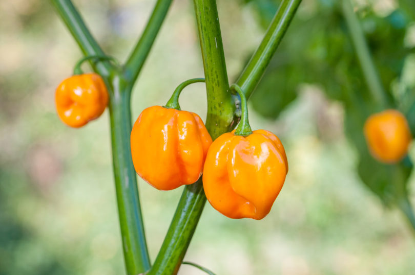 Die fruchtige Chilisorte Morovars Yellow - Capsicum chinense