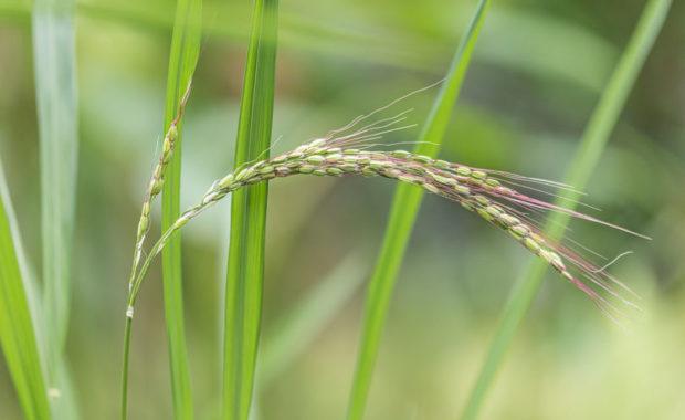 Reis – Oryza sativa – Poaceae