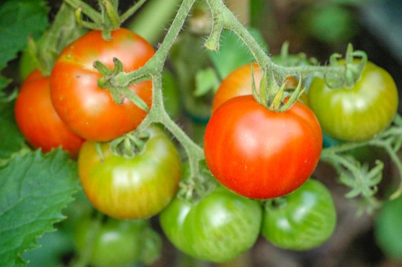 Die Früchte von Outdoor Girl sind klein und reifen früh.