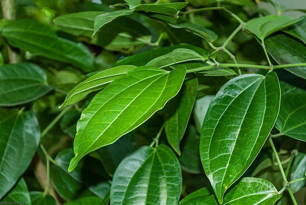 Piper-amalago