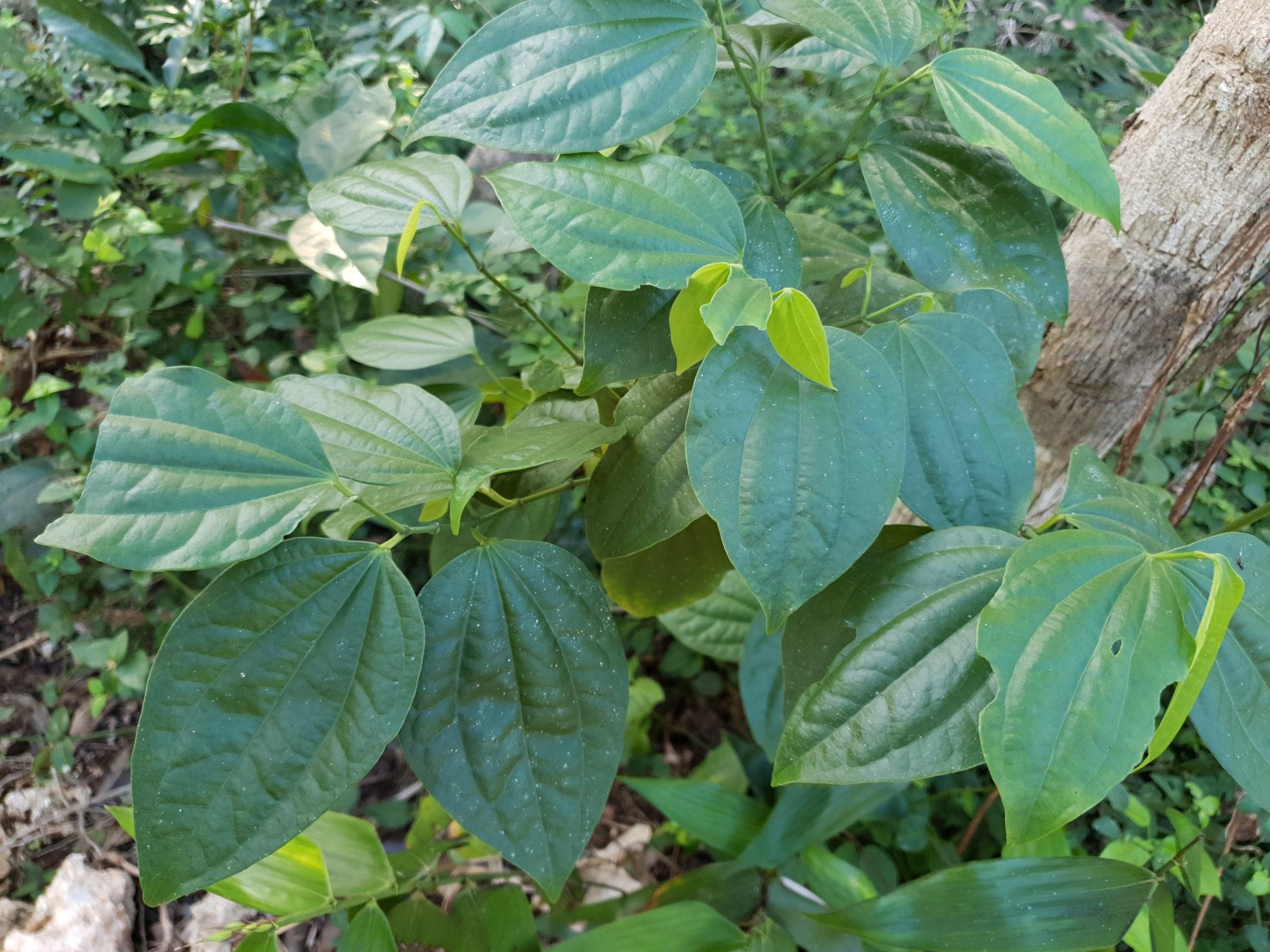 Arten der Familie Piperaceae