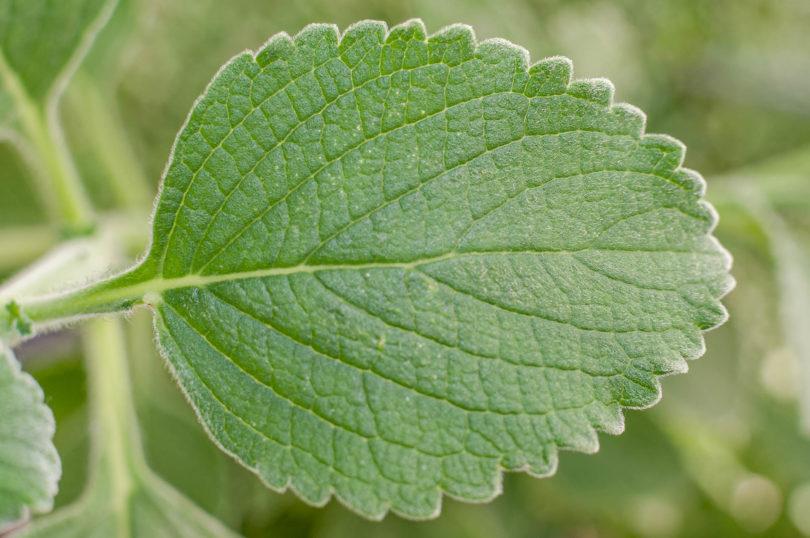Die samtig behaarten Blätter von Boldo (Plectranthus barbatus)