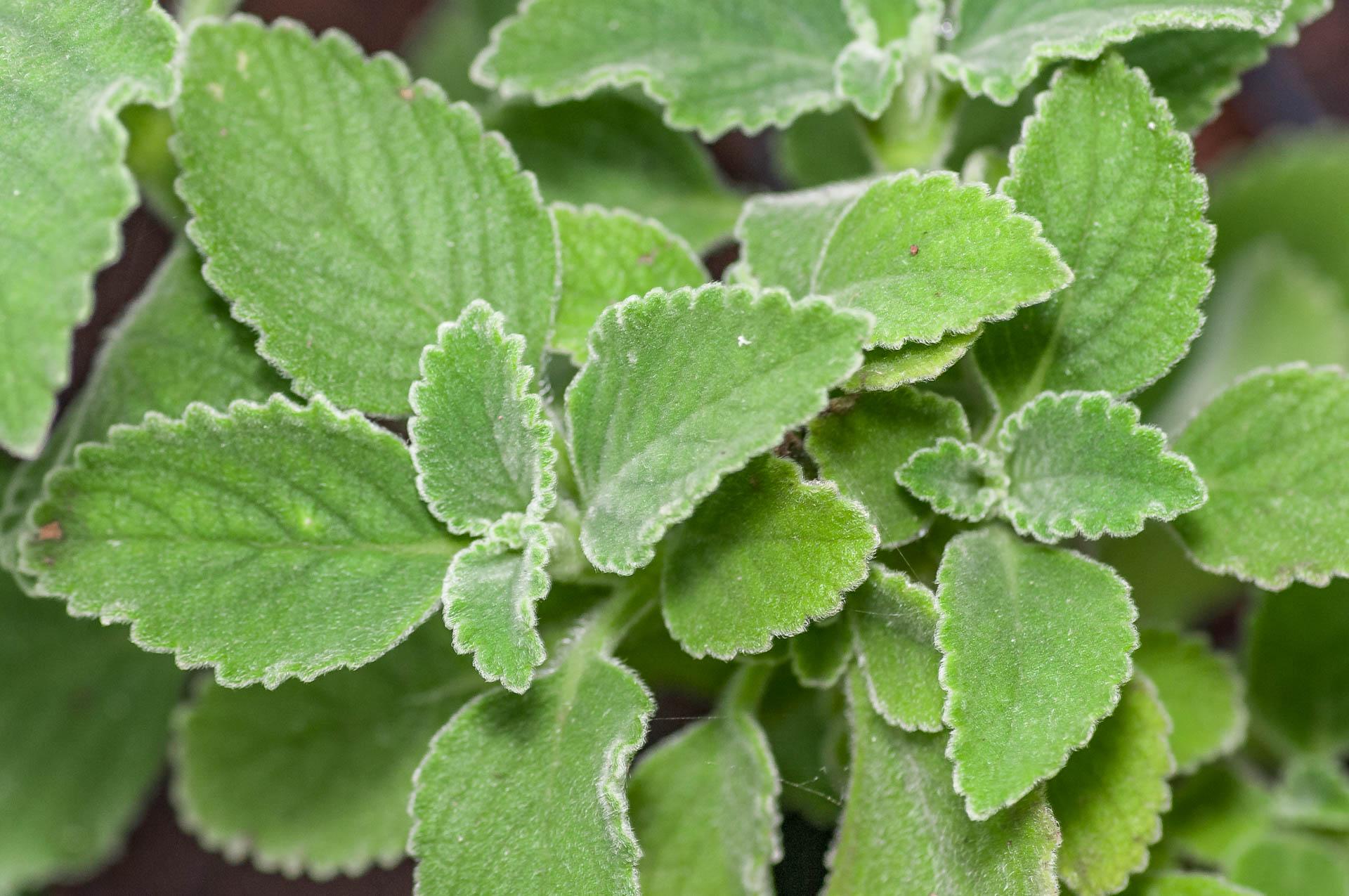 Plectranthus-barbatus-Boldo