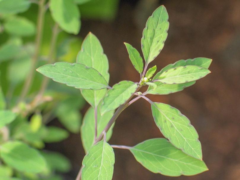 Bolivianischer Koriander - Porophyllum ruderale