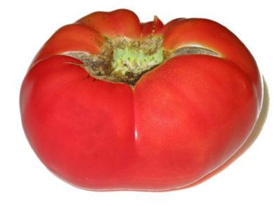 Purple Smudge - Solanum lycopersicum - Tomatensorte