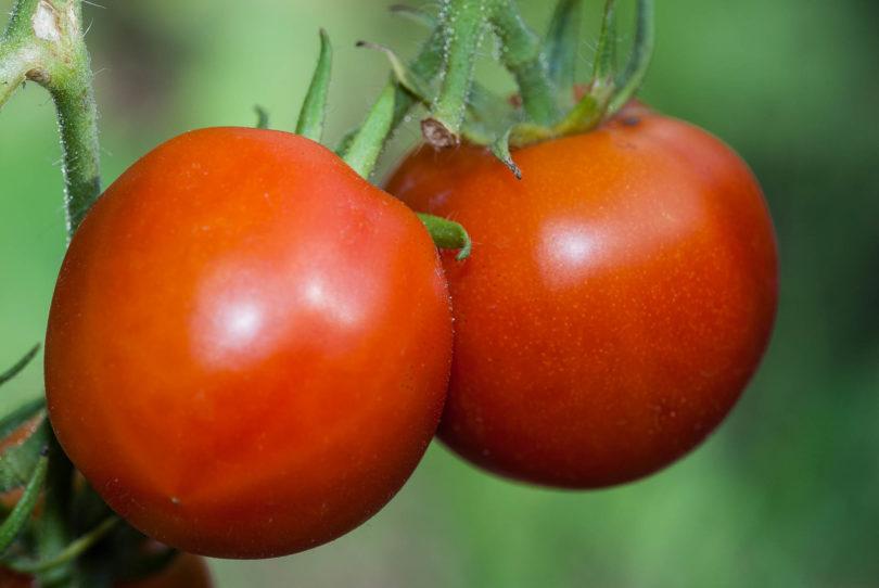 Die Tomatensorte Quedlinburger Frühe Liebe ist eine frühe Landsorte mit gutem Geschmack