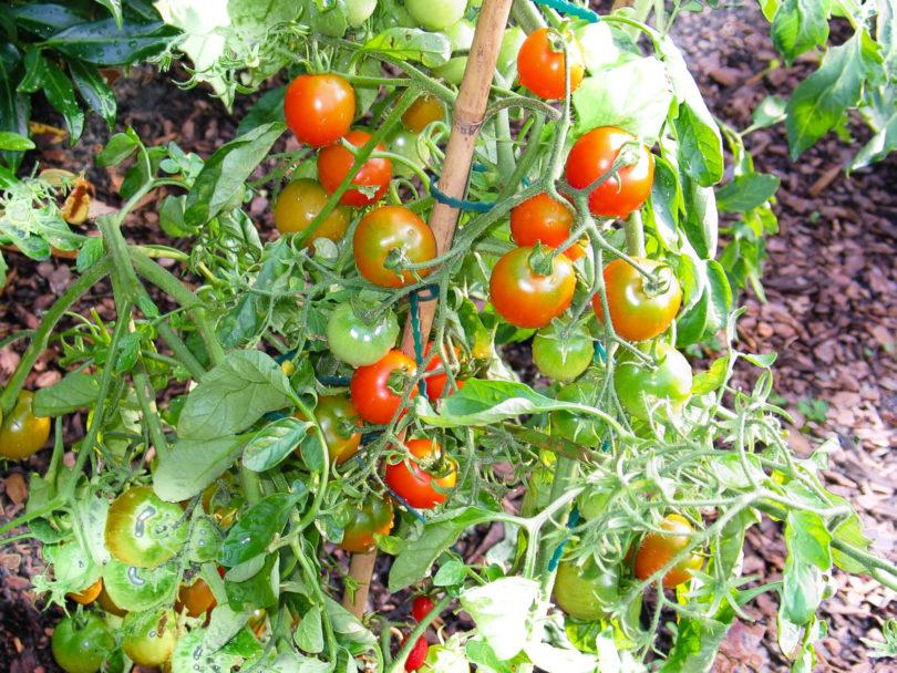 Die Pflanzen müssen wegen des hohen Ertrages gut angebunden werden.
