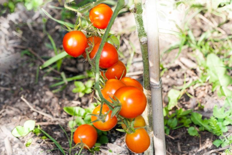 Reife Früchte im Juni im Freiland Anbau