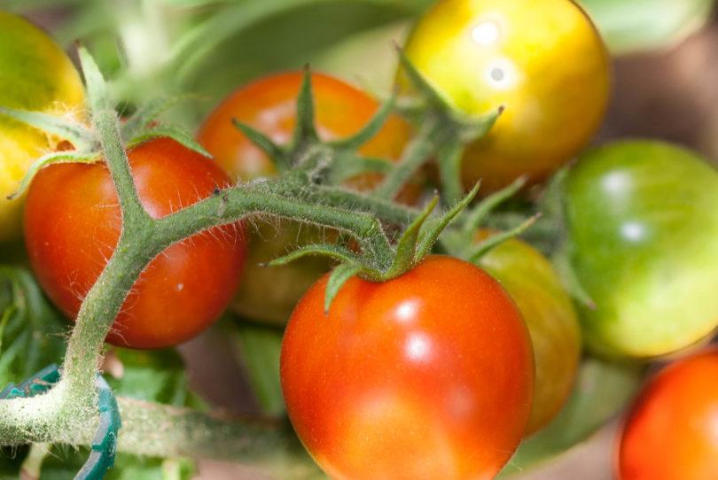 Die Tomatensorte Red Alert ist eine der frühesten Sorten mit hohem Ertrag