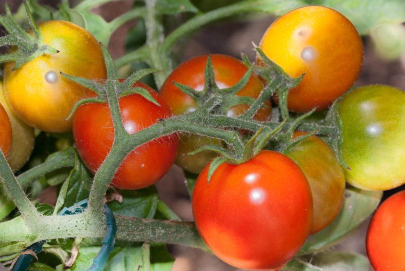Die Tomaten schmecken gut und sind saftig