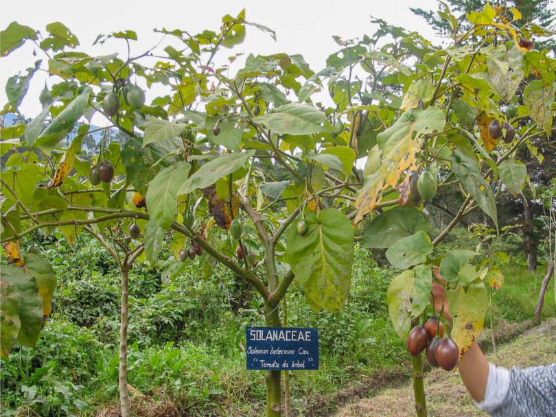 Ein Exemplar der Baumtomate (Tomate de árbol) im botanischen Garten in Loja, Ecuador