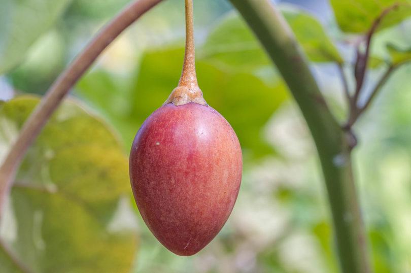 Eine reife rote Frucht der Baumtomate bereit zum pflücken
