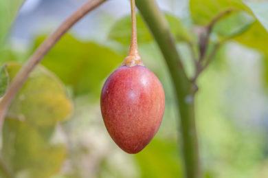 Baumtomate - Solanum betaceum