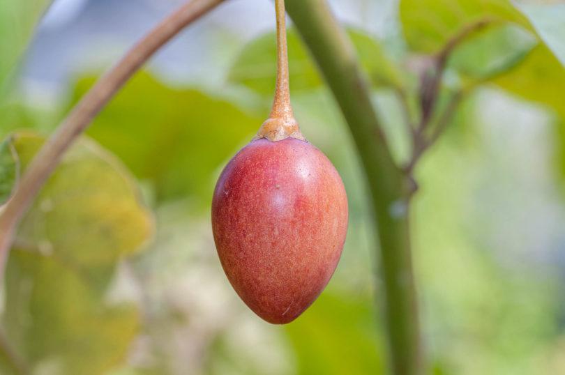 Baumtomate – Solanum betaceum