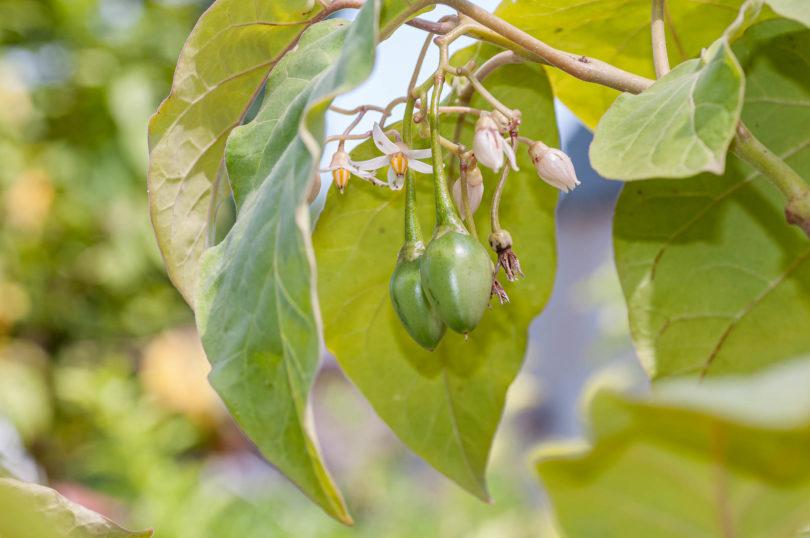 Erste Früchte von Solanum betaceum an den Blütenständen