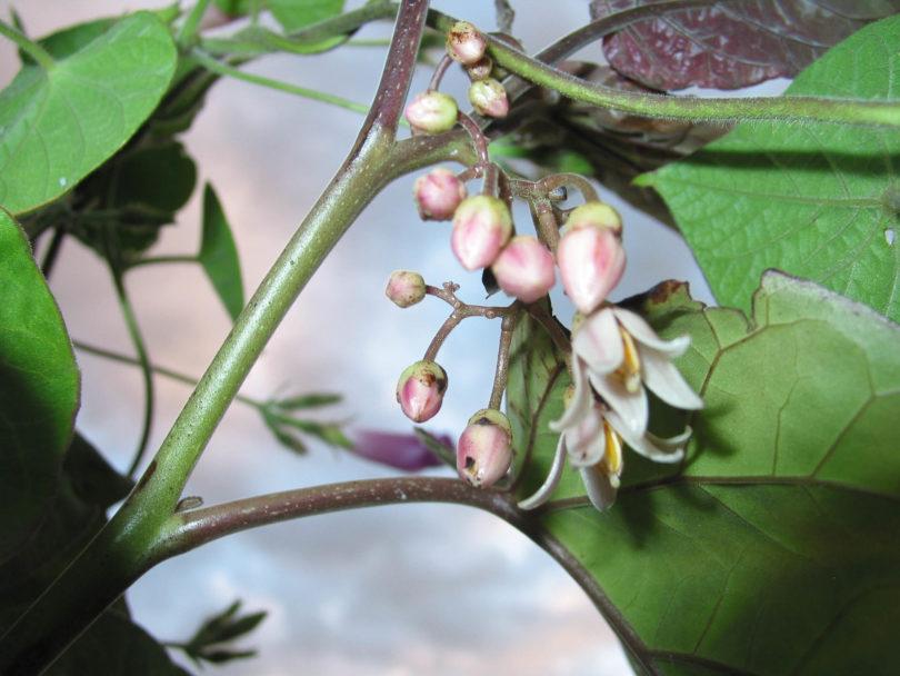 Die weiß-rosa Blüten der Tomarillo