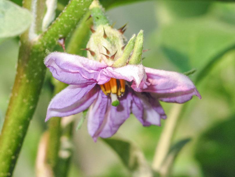 Die Blütenfarbe von den verschiedenen Auberginensorten (Solanum melongena) können variieren.