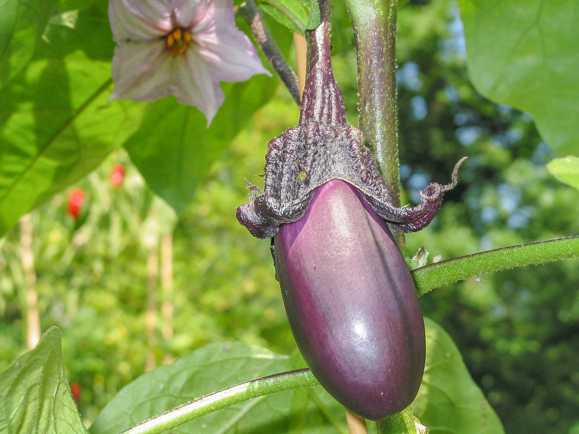 Solanum-melongena