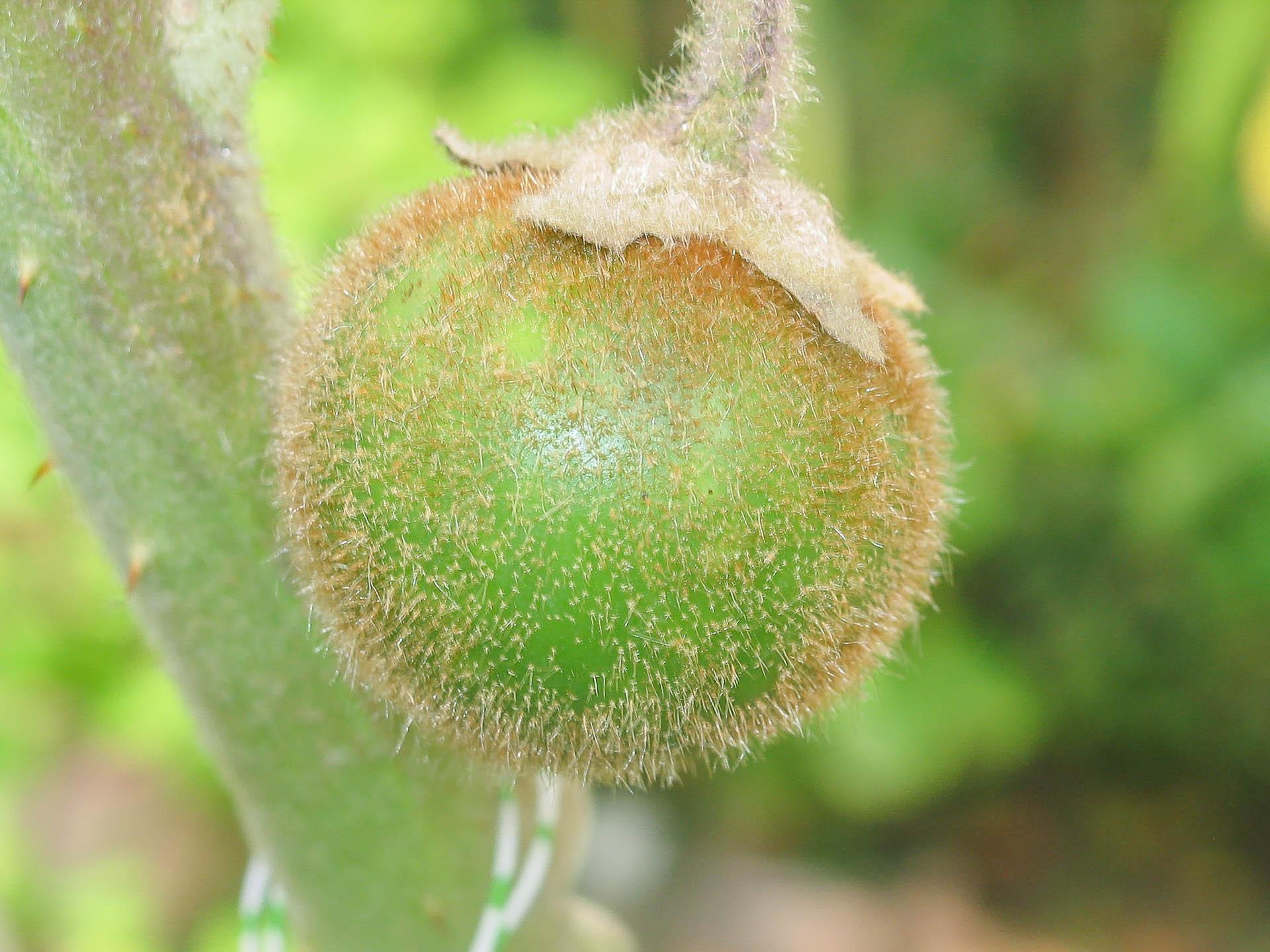 Solanum-quitoense