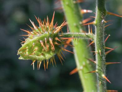 Litchitomate - Solanum sisymbriifolium