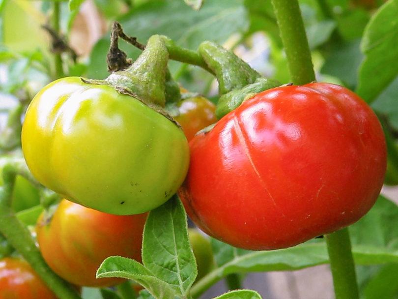 Menschenfressertomate - Solanum uporo