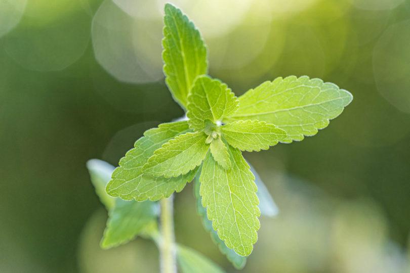 Stevia rebaudiana besitzt 300 mal mehr Süßkraft als Zucker