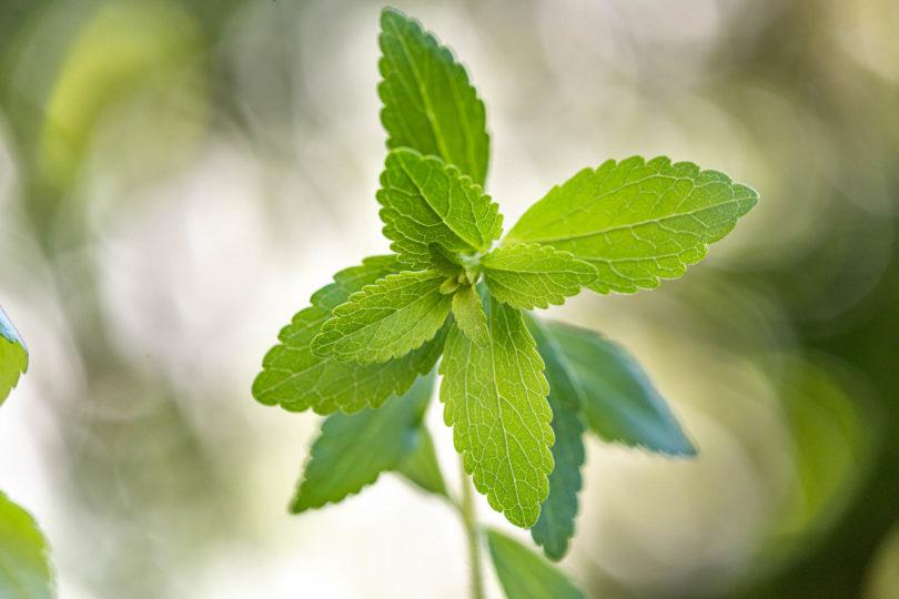 Stevia rebaudiana Pflanze