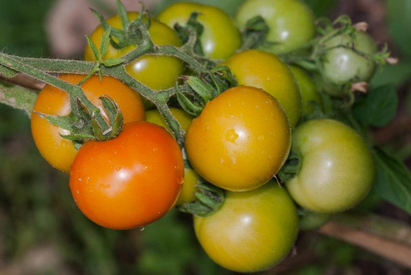 grüne Früchte am reifen