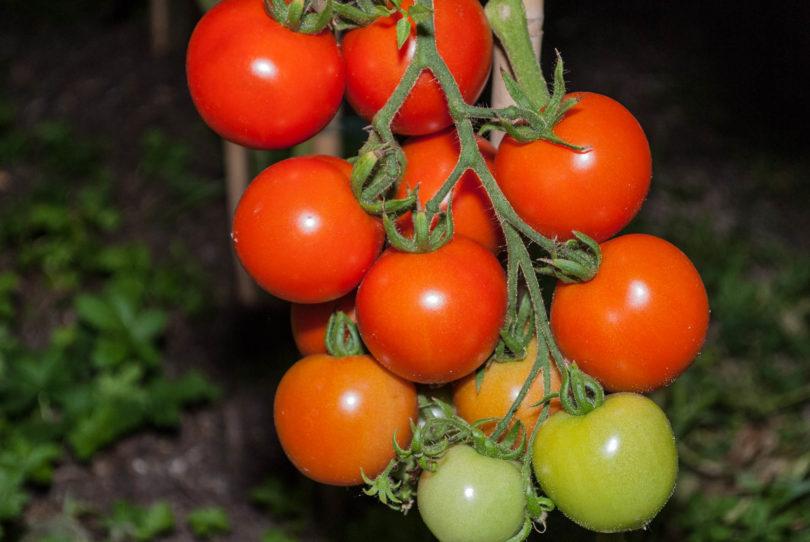 Die Tomatensorte setzt sehr viele Früchte an