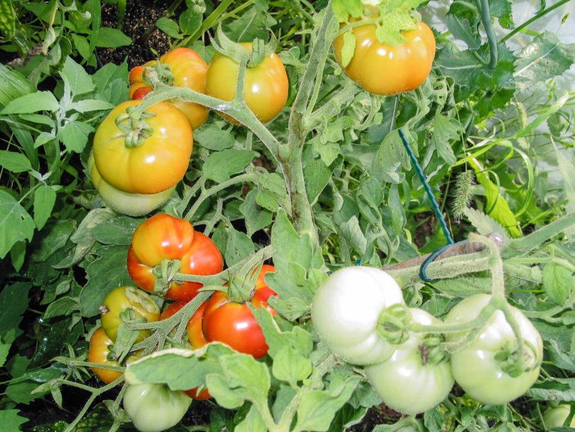 Die Tomate The Amateur wächst selbstdeterminierend und muss daher nicht ausgegeizt werden.
