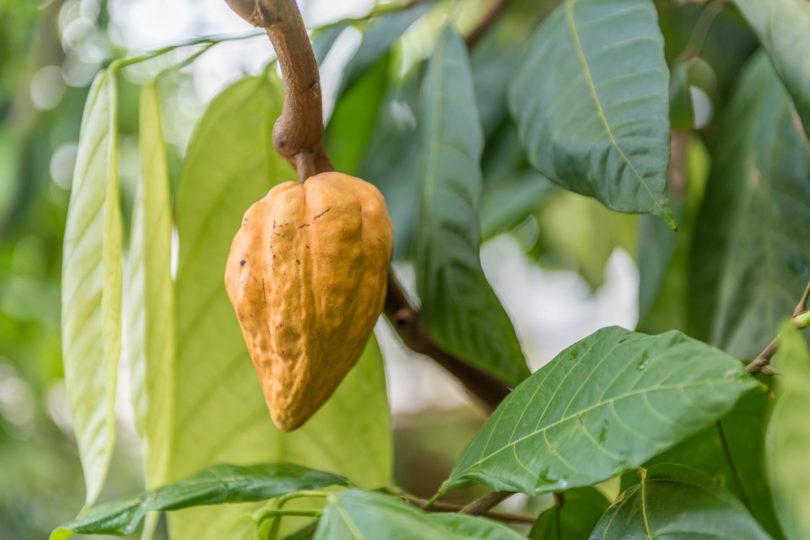 Theobroma cacao - Criollo