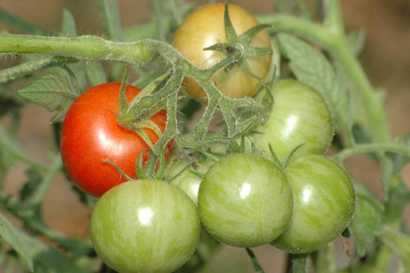 Auf den grünen, unreifen Früchte ist das gestreifete Muster zu erkennen.