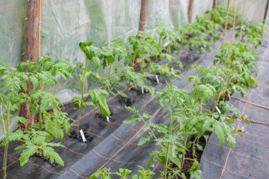 Tomaten Anbau