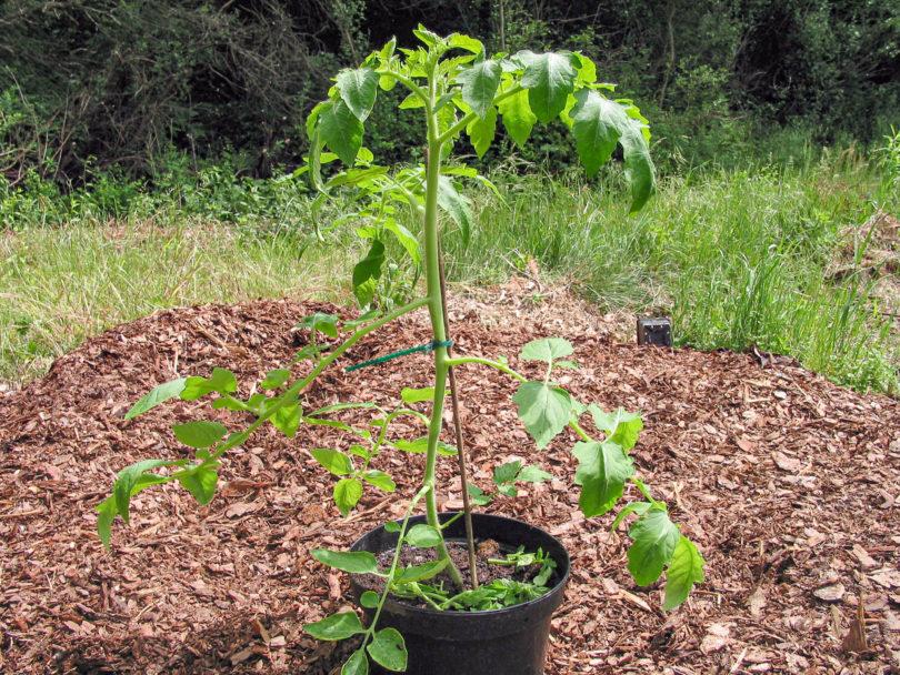 Beim Ausgeizen der Tomate werden die Seitentriebe entfernt