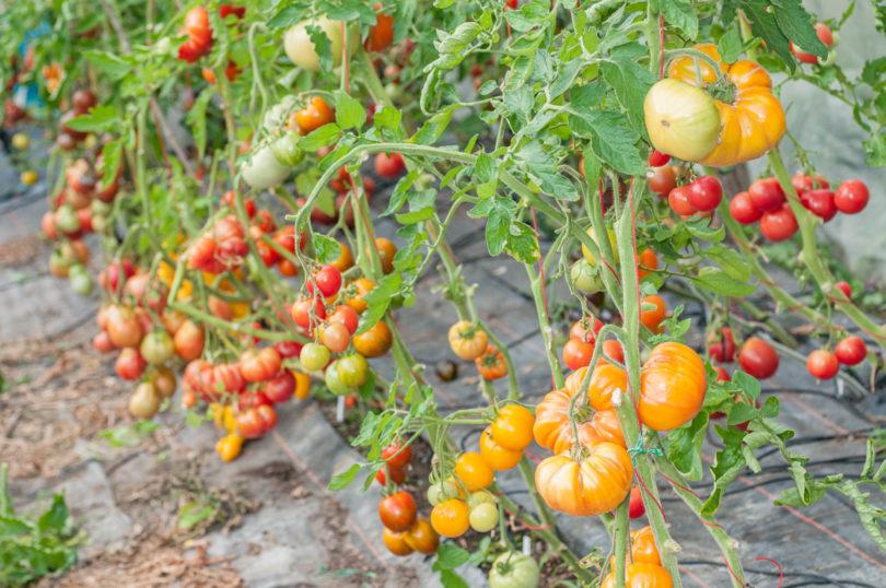 Verschiedene Tomatensorten im Folientunnel