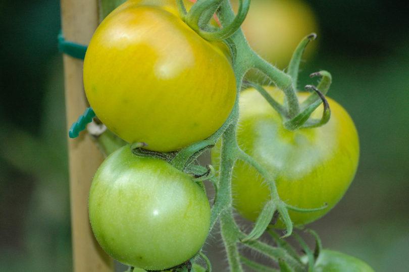 Die Tomate kurz vor der Reife