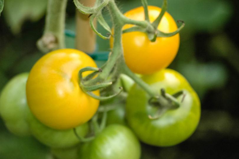 Die gelbe Tomate Yellow Perfektion schmeckt aromatisch, saftig gut.