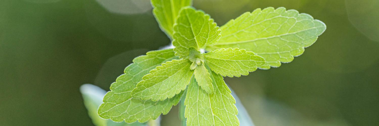cropped-Stevia.jpg